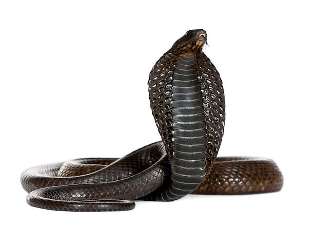 Ägyptische kobra, naja haje isoliert