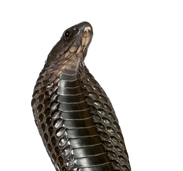 Ägyptische kobra (naja haje)