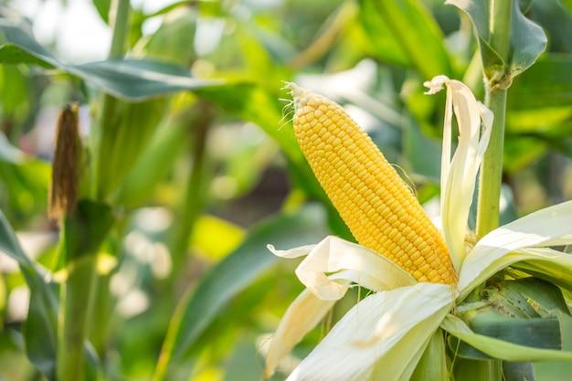 Ähre aus gelbem mais mit den körnern, die immer noch am maiskolben im maisfeld befestigt sind.