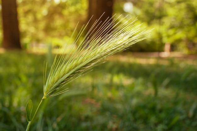 Ähre des grünen weizens im park