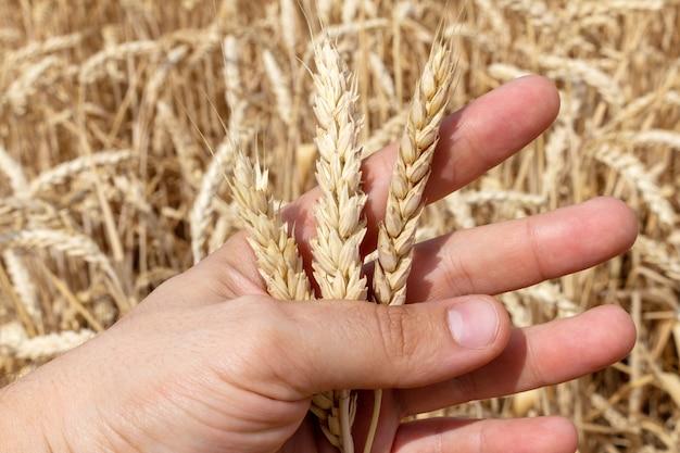 Ähren des kornweizen-ährchens in der hand schließen oben auf feldhintergrund, landwirtschaftslandwirtschaftsökonomiekonzept