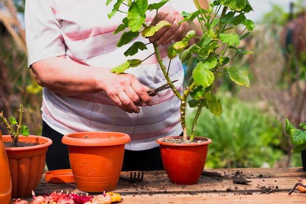 Ältere frau der kaukasischen ethnischen zugehörigkeit in heller kleidung schneidet eine grüne pflanzenblume mit schere draußen auf einem alten holztisch.