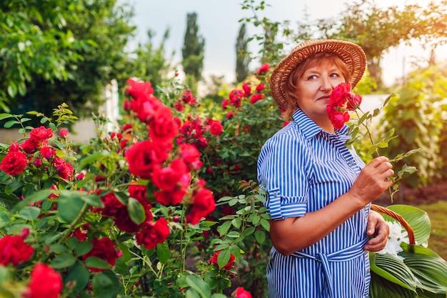 Ältere frau, die blumen im garten erfasst. frau von mittlerem alter, die rosa rosen riecht.