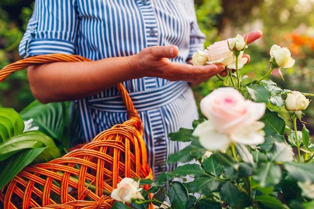 Ältere frau, die blumen im garten erfasst. frau von mittlerem alter, die rosarose in den händen hält.