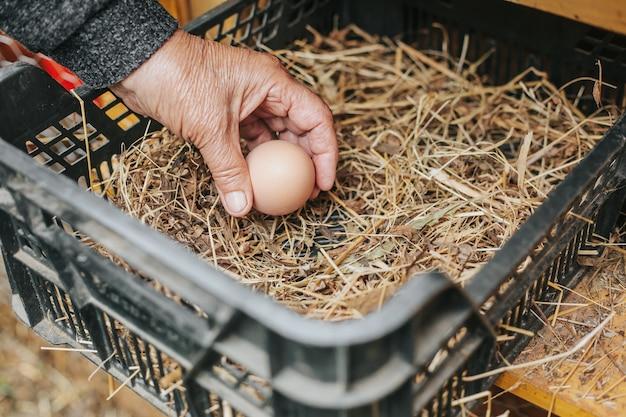 Ältere frau, die ein frisches ei von einem hühnerstall sammelt oder erntet, heimische landwirtschaft