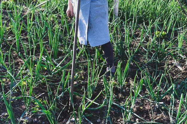 Ältere frau, die im zwiebelgarten arbeitet. landwirtschaftliches konzept.