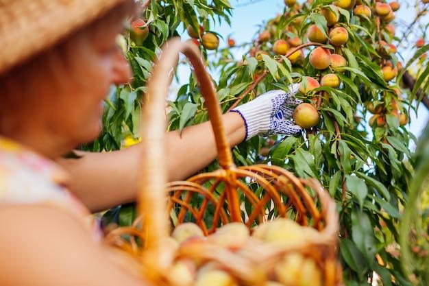 Ältere frau, die reife organische pfirsiche im sommerobstgarten auswählt