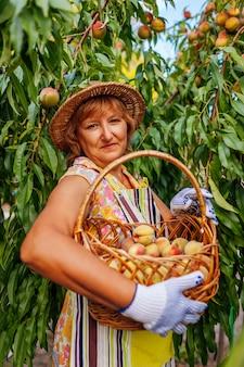 Ältere frau, die reife organische pfirsiche im sommerobstgarten hält korb auswählt