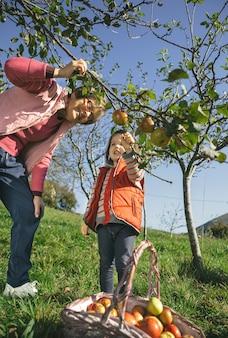 Ältere frau und entzückendes kleines mädchen, die an einem sonnigen herbsttag frische bio-äpfel vom baum pflücken. freizeitkonzept für großeltern und enkel.
