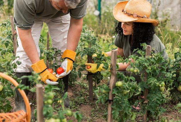 Ältere paare, die tomaten ernten