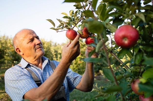 Älterer arbeiter, der äpfel im obstgarten prüft