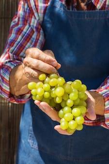 Älterer bauer, der die ernte von bio-trauben hält