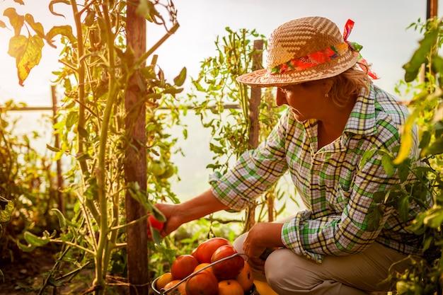Älterer frauenlandwirt, der ernte von tomaten am gewächshaus auf bauernhof erfasst.