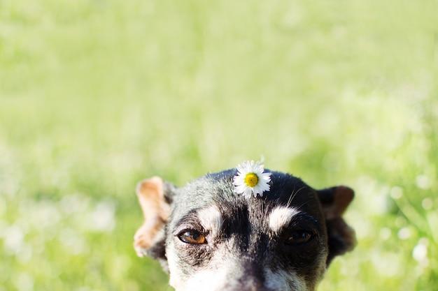 Älterer hund mit einer gänseblümchenblume über ihrem kopf