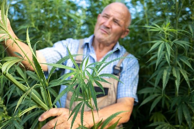 Älterer landwirt, der die qualität von cannabis- oder hanfpflanzen auf dem feld überprüft.