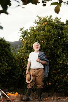 Älterer mann, der allein frische orangenbäume erntet