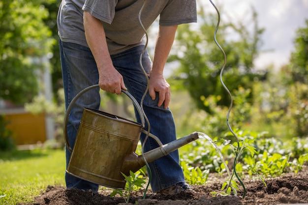 Älterer mann, der die tomatenpflanzen an seinem riesigen garten, gartenkonzept gießt