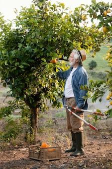 Älterer mann, der frische saftige orangen erntet