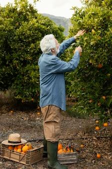 Älterer mann, der orangenbäume erntet
