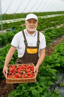 Älterer mann, der reife rote erdbeeren im korb erntet