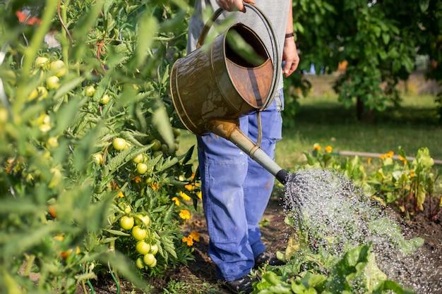 Älterer mann, der seinen riesigen garten mit großer menge gemüse, gartenkonzept gießt