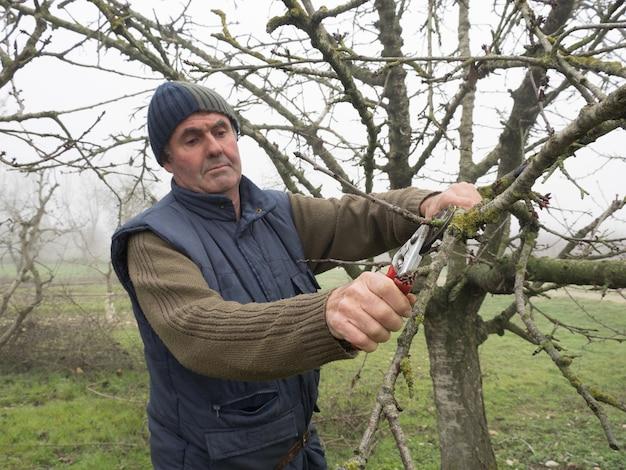 Älterer mann mit wollmütze beschneidet obstbäume mit schere an einem nebligen tag