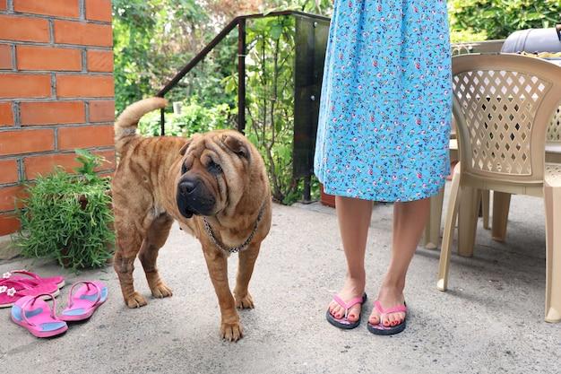Älterer sharpei-hund steht neben den beinen der jungen frau im hof