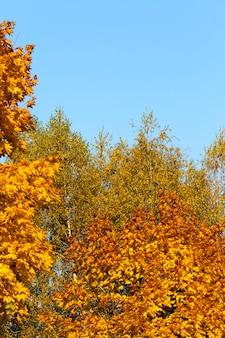 Ändern der farbe des ahorns in der herbstsaison, das laub des ahornbaums wird beschädigt und fällt ab, laubbäume einschließlich ahorn vor dem blattfall, nahaufnahme