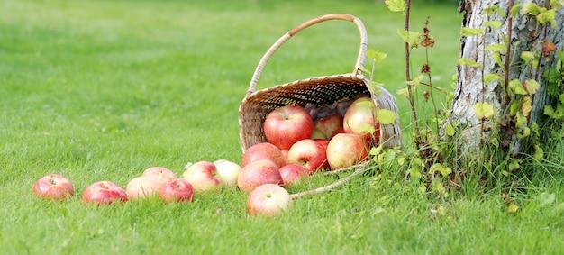 Äpfel auf dem rasen