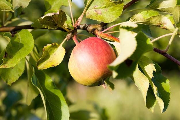 Äpfel auf den zweigen
