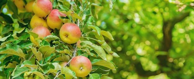 Äpfel auf einem baum im garten. selektiver fokus.