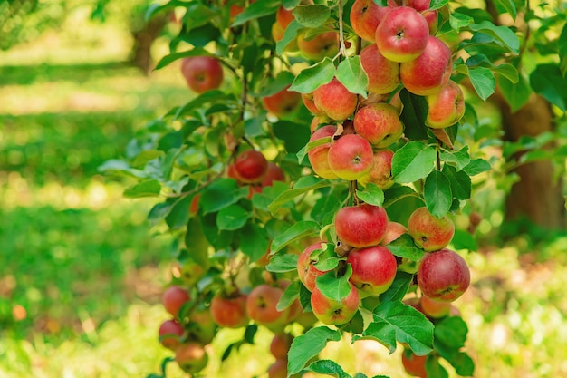 Äpfel auf einem baum im garten