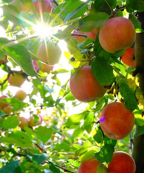 Äpfel auf einem baum in den strahlen der sonne