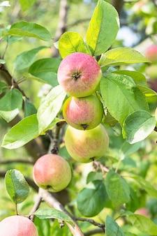 Äpfel beim brunch in einem sonnigen garten