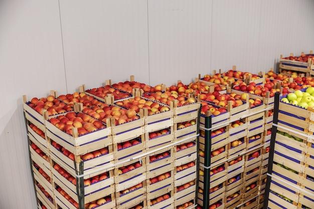 Äpfel in kisten zum versand bereit. kühlraum innenraum.