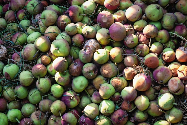 Äpfel in kompostgrube als organischer pflanzendünger