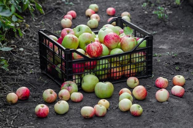 Äpfel liegen in einer plastikkiste auf dem boden. äpfel ernten.