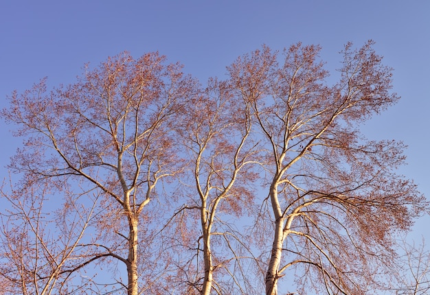Äste gegen den blauen himmel. kronen hoher espen, die im frühling von den sonnenstrahlen beleuchtet werden