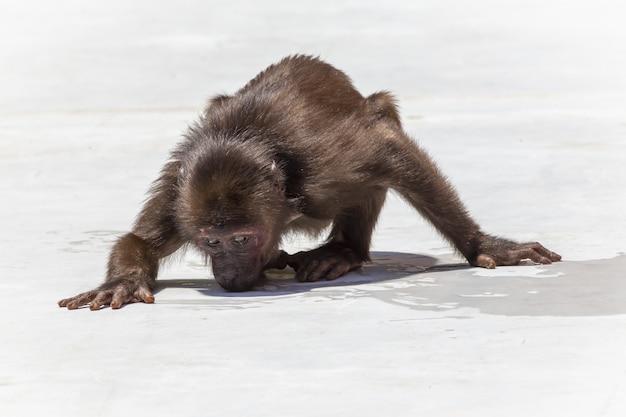 Affe, der auf weißem sand steht