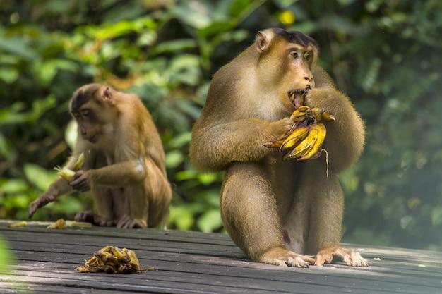 Affe, der bananen isst