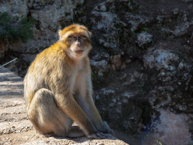Affe, der in die augen schaut