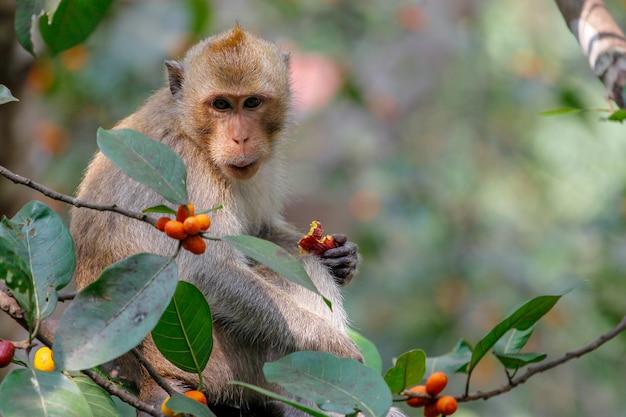 Affe essen lebensmittel auf baum in thailand