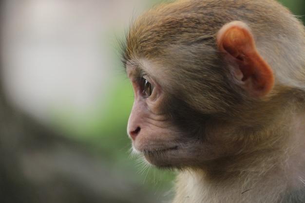 Affe in der natur