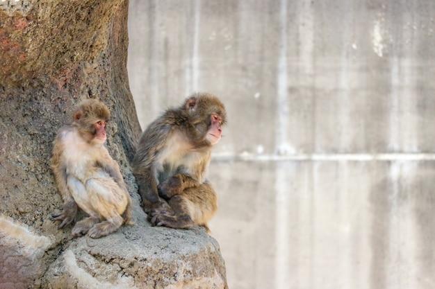 Affe mit zwei japanern macaque, der auf dem stein am sonnigen tag sitzt.