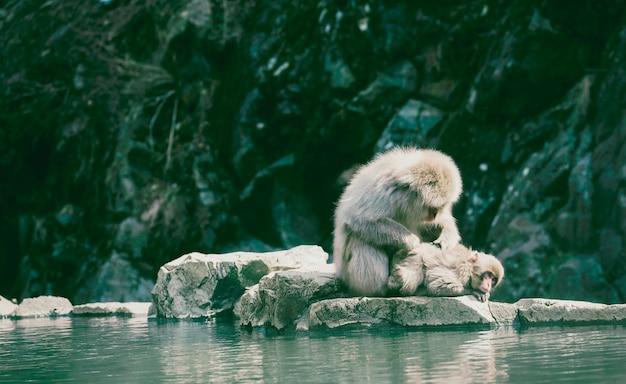 Affe mit zwei schnee, der am heißen frühling im jigokudani schnee-affepark sich entspannt.