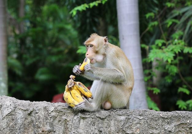 Affe sitzt auf dem stein und isst banane