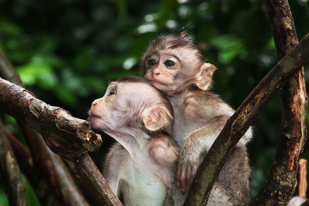 Affe-wald, bali-zoo, indonesien