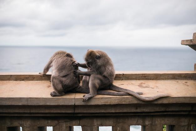 Affen am tempel von uluwatu auf der insel von bali, indonesien