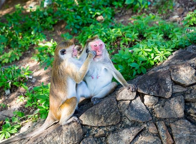 Affen im alten buddha-tempel auf sri lanka. makaken in der widlife-szene, asien. essensdiebe auf shri lanka