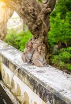 Affen (krabbe, die makaken isst), die sich pflegen.